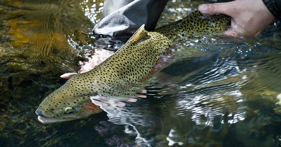 Proper Catch And Release Fly Fishing Gink And Gasoline