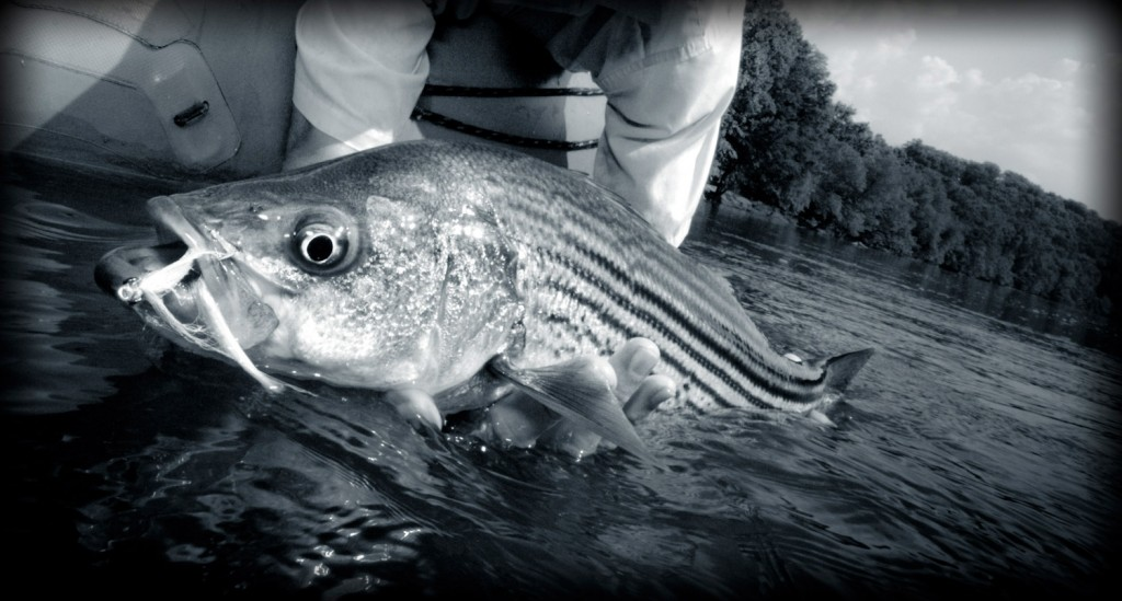 Sunday classic striped bass making the best of global for How to fly fish for bass