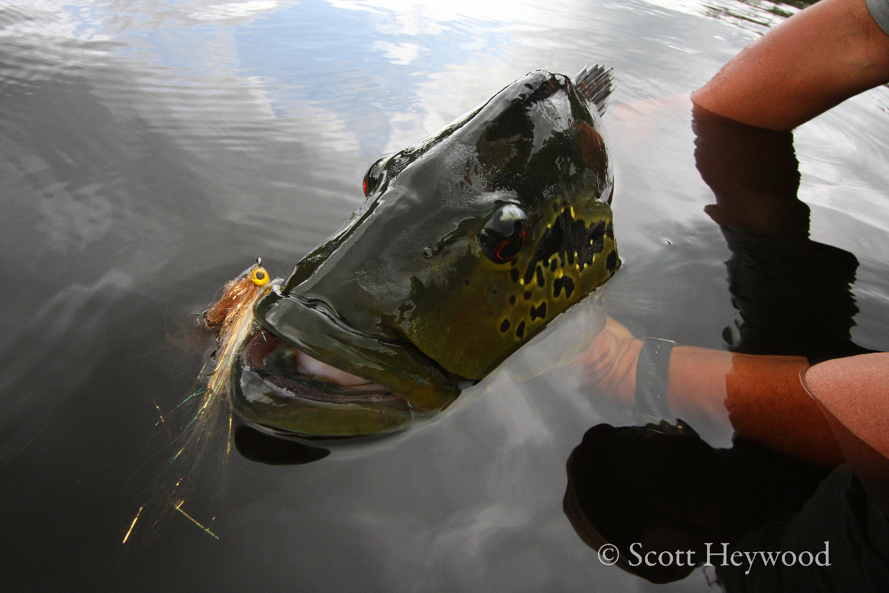 Peacock bass in the amazon part 2 fly fishing gink for Amazon fly fishing