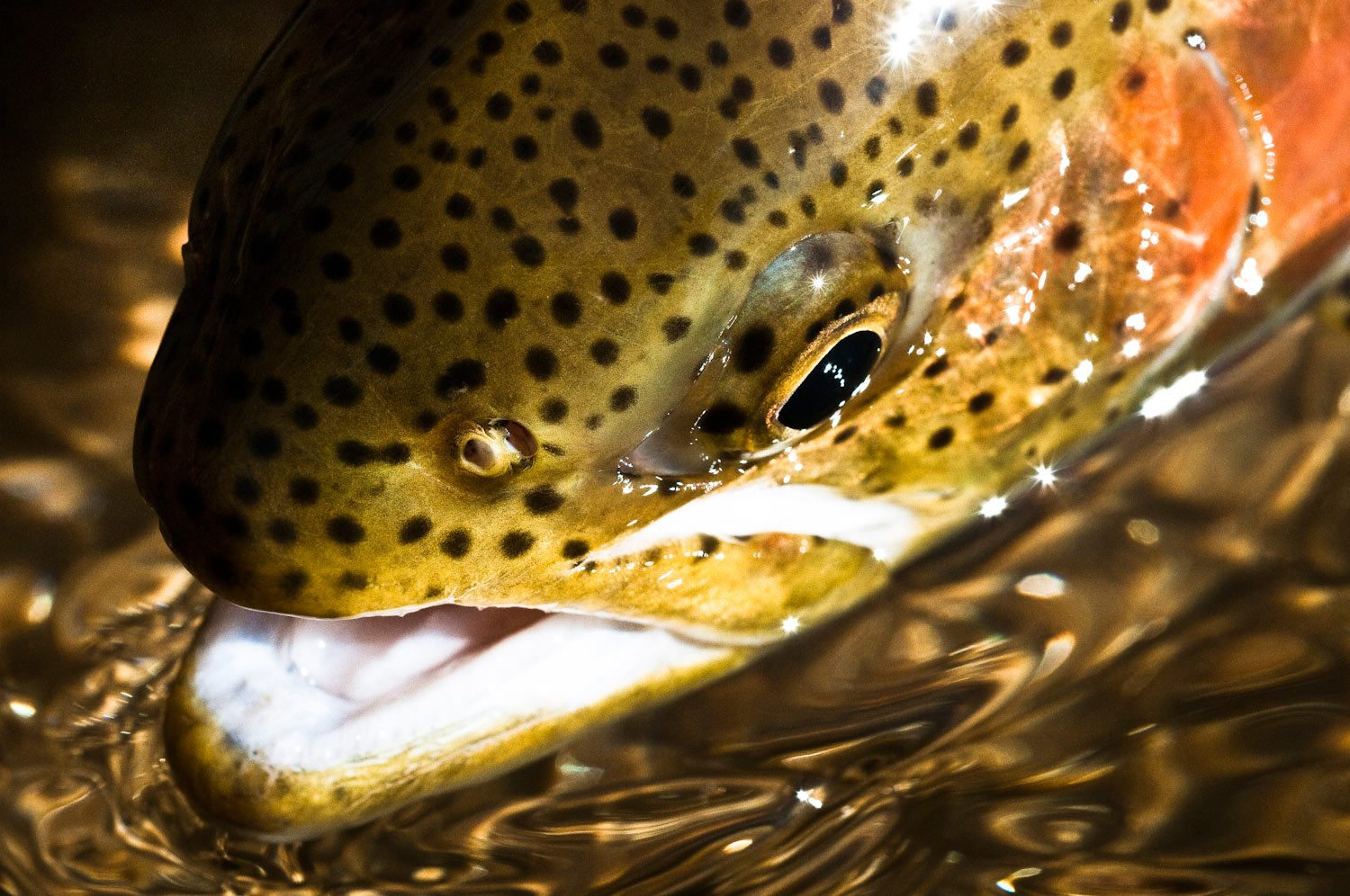 8 common mistakes anglers make fighting trout | fly fishing | gink, Fly Fishing Bait
