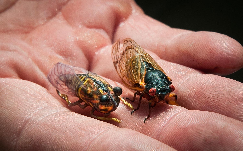 louis-cicada-pic