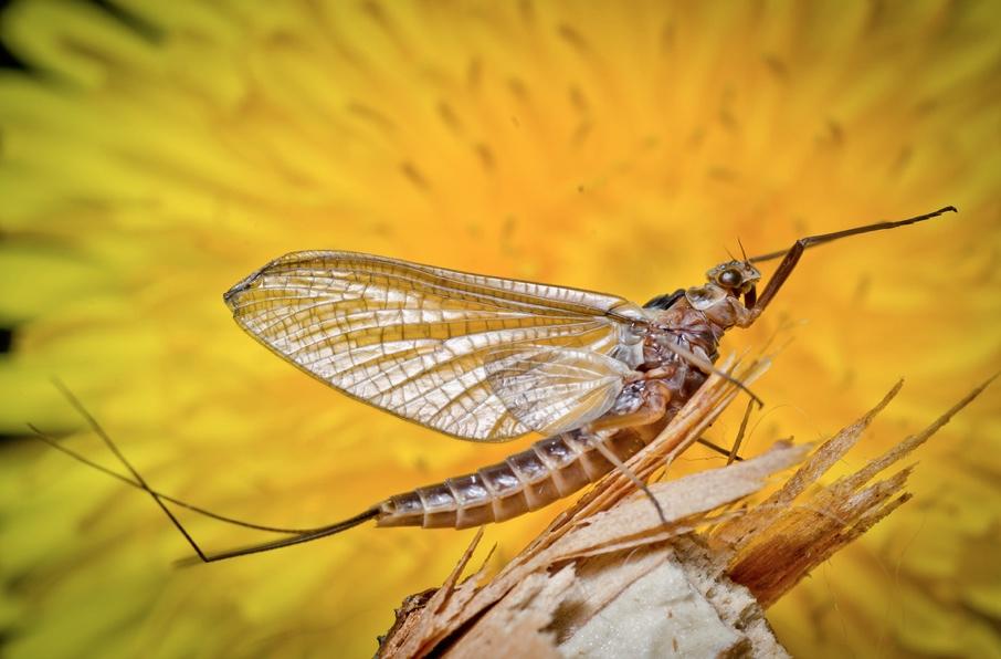 drake-mayfly