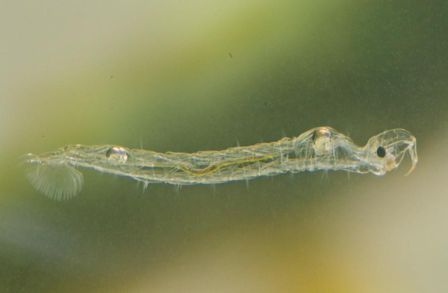 transparent-midge