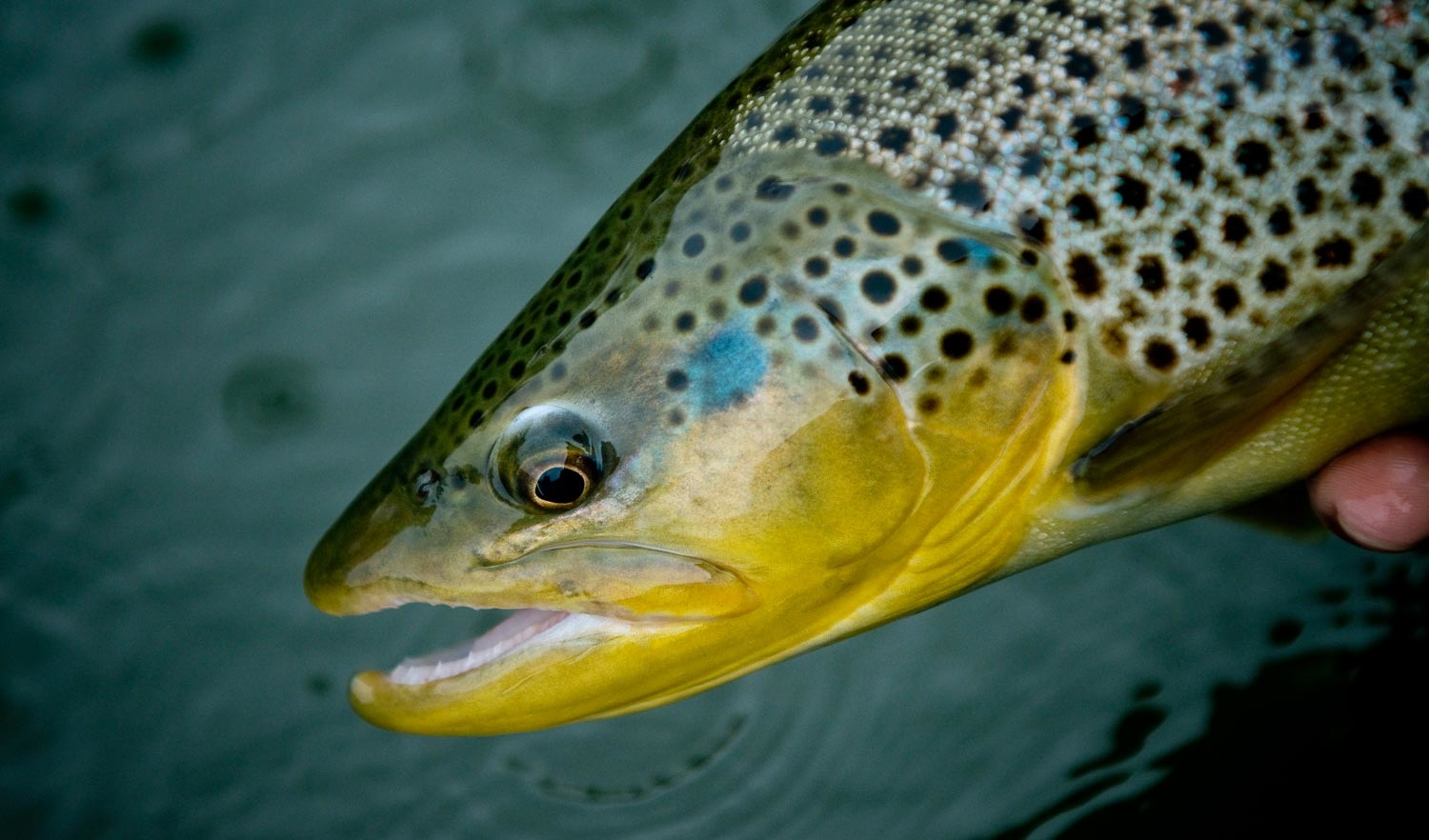 fly-fishing-shallow-water-trout