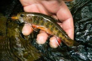 A beautiful southern strain fish.
