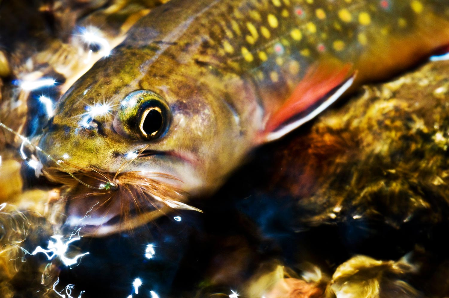 Southern Appalachian Brook Trout  Photo by Louis Cahill