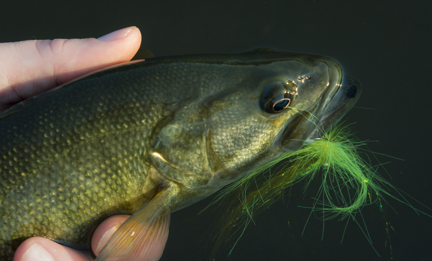 Small wonder middle georgia 39 s shoal bass fly fishing for How to fly fish for bass