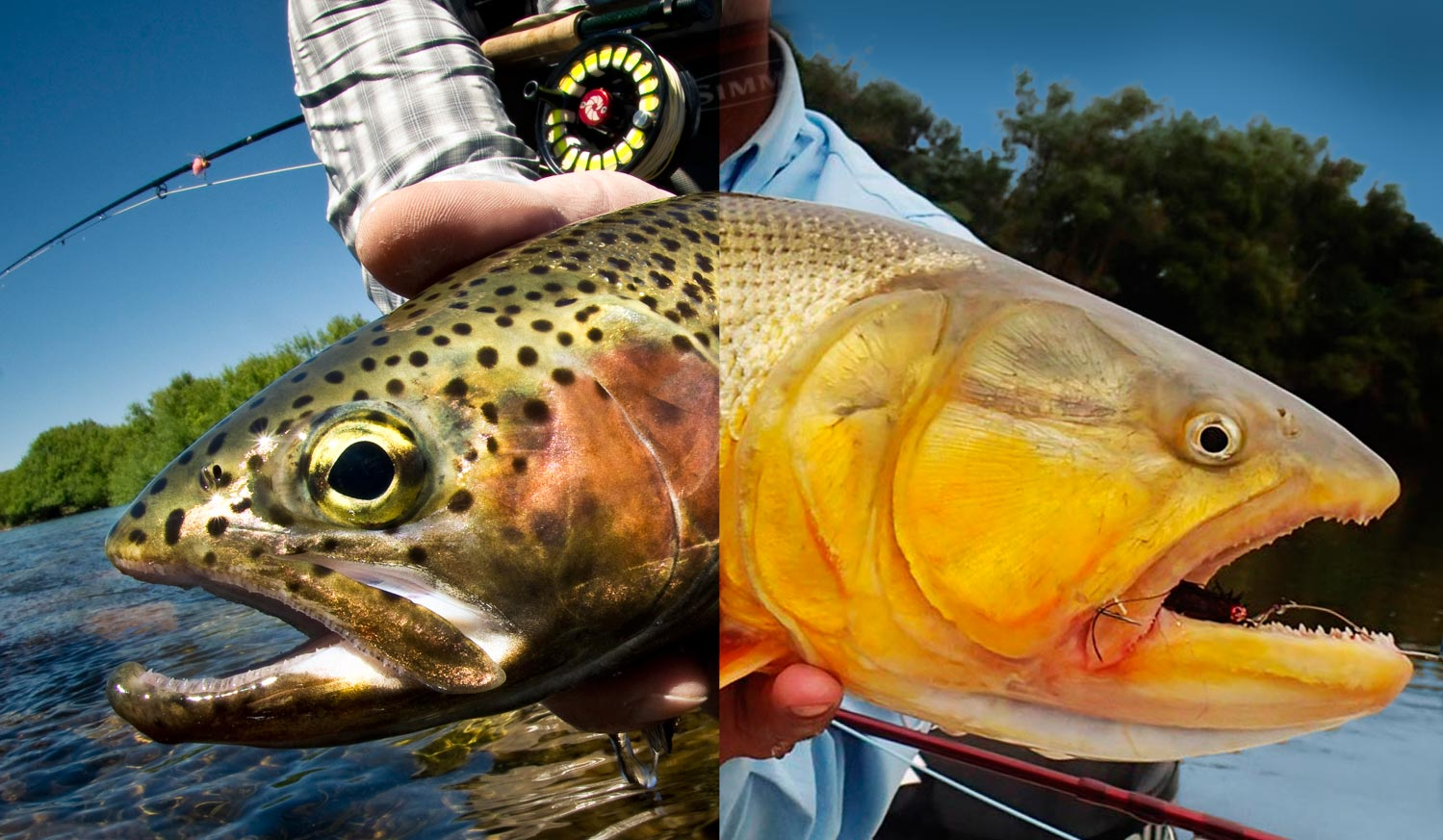 Golden dorado fish for Golden trout fishing