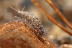 Aquatic_sow_bug_Asellidae-480x319