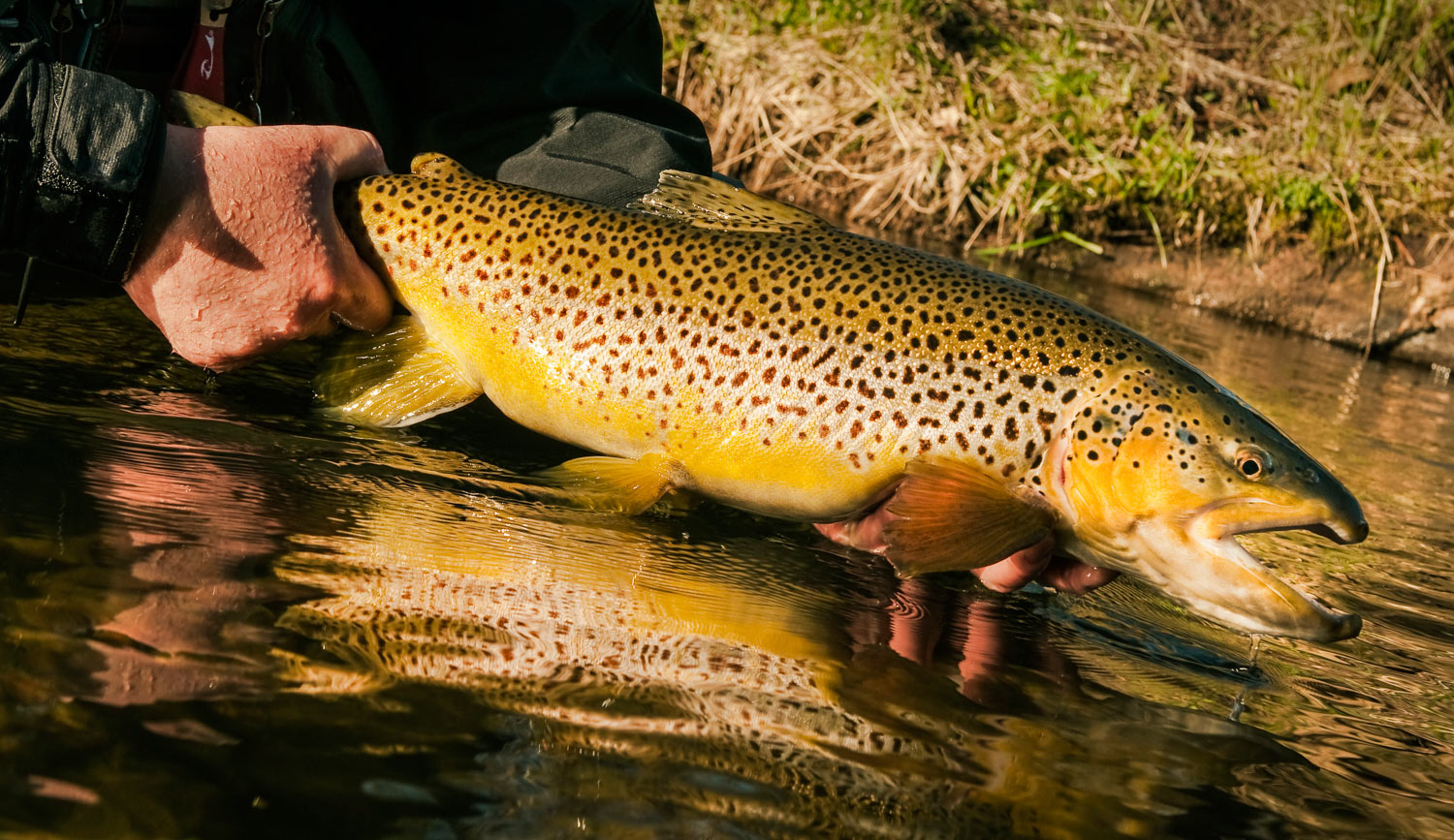 How to caych a trophy brown trout fly fishing gink and for Brown trout fly fishing
