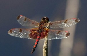 Dragonfly-Dry-480x310