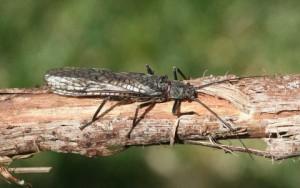 Stonefly-Dry-Salmonfly-480x301