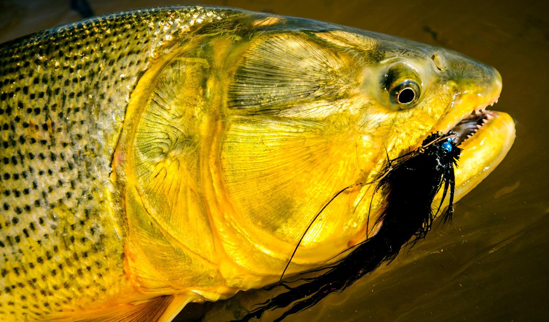 Golden dorado on the fly require a mix of skills fly for Golden dorado fish