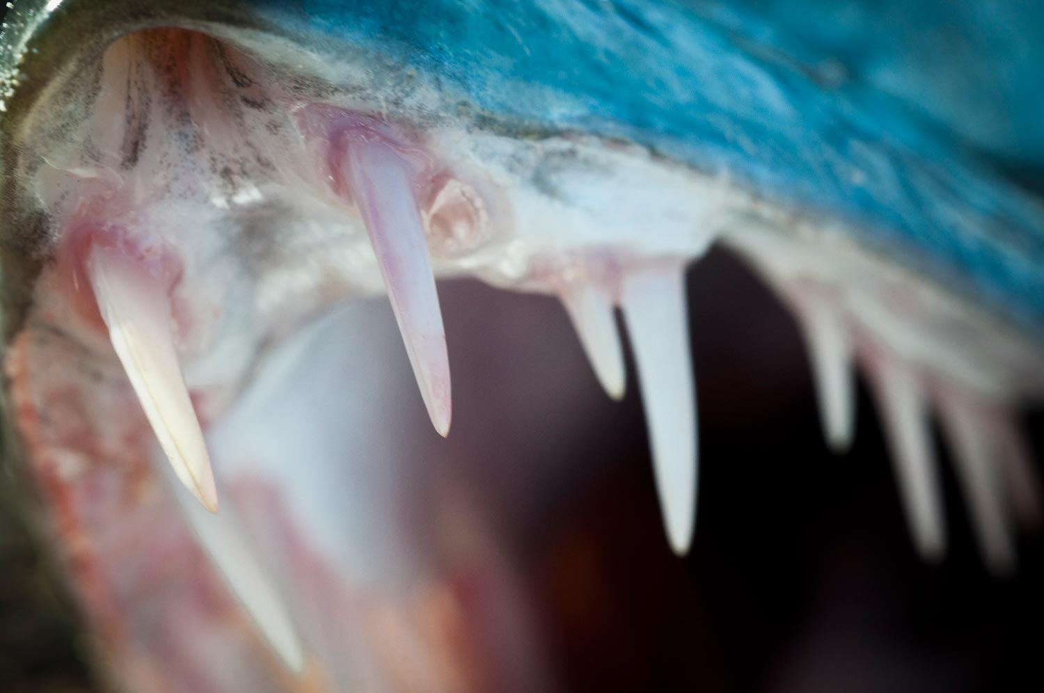 6 Reasons To Love And Fear The Barracuda | Fly Fishing ...